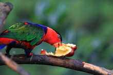 Parrot Black Capped Lory . Wildlife Animal.