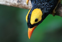 Yellow Faced Myna  Perched On ...