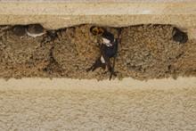 Hirondelles De Fenêtre à Ponte Lecchia (2B Corse)