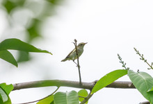 Arctic Warbler (Phylloscopus Borealis) Perching On Small Branch With White Background.