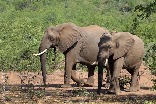 Fotografering  Afrikanischer Elefant / African elephant / Loxodonta africana