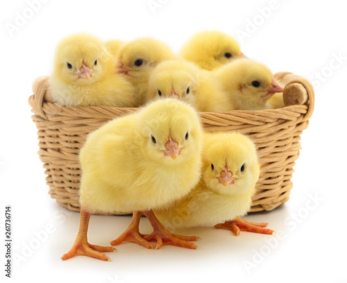 Small yellow chickens in basket. Canvas Print