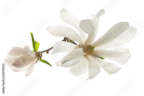 In de dag Magnolia White flowers star magnolia (magnolia stellata) isolated on white background. White Magnolia flowers are isolated on a white background.