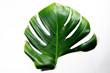 Monstera Liana. Big green leaf on a white background. Macro. Plant