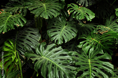 Fotobehang Natuur tropical monstera leaf texture, foliage nature green background.