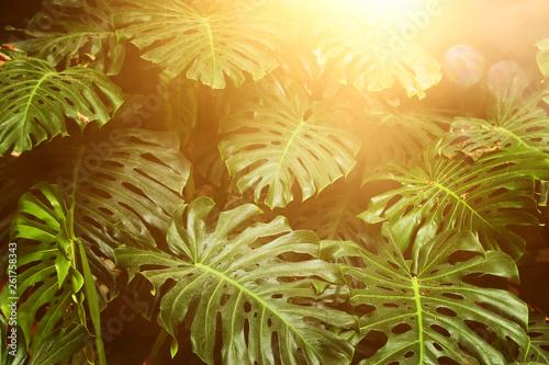 tropikalny-lisc-monstera-tekstury-lisci-natura-zielone-tlo