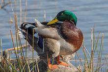 Male Mallard Duck (anas Platyrhynchos) Resting On A Trunk
