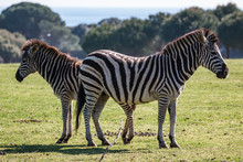 A Pair Of Zebras On The Pasture