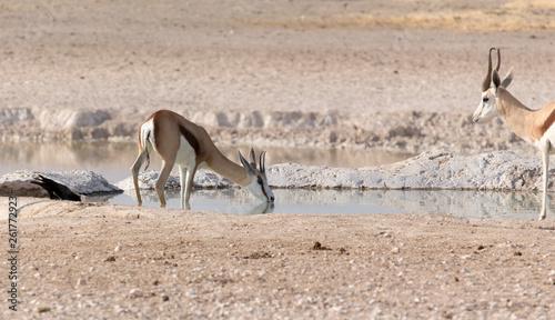 Fotografia  Two springboks in namibian savannah
