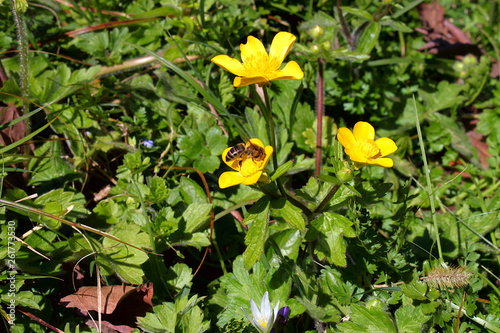 Photo Yellow buttercup  (Ranunculus acris)