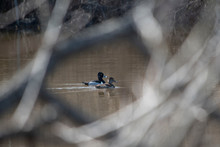 Ring Necked Duck Couple