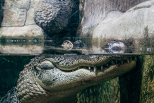 Crocodile In Under Water, Eyes Above Water Surface, Reptile Watching