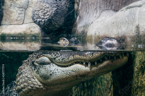 Poster Crocodile Crocodile in under water, eyes above water surface, reptile watching