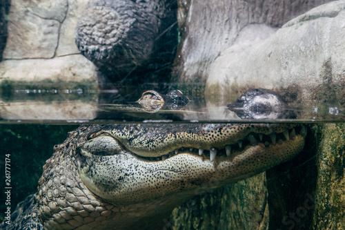 Fototapeta Crocodile in under water, eyes above water surface, reptile watching