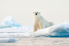 Polar Bear On Drift Ice Edge W...