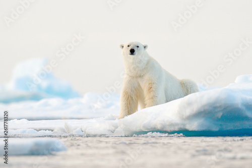 Photo Stands Polar bear Polar bear on drift ice edge with snow and water in Norway sea. White animal in the nature habitat, Svalbard, Europe. Wildlife scene from nature.