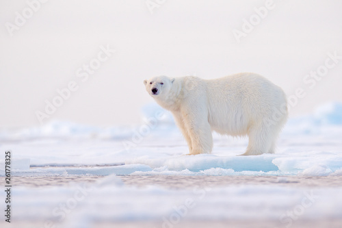 Polar bear on drift ice edge with snow and water in Norway sea Fototapeta