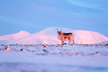 Winter Landscape With Reindeer...