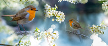 Red Robin (Erithacus Rubecula)...