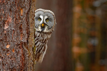 Portrait Of Great Grey Owl, St...