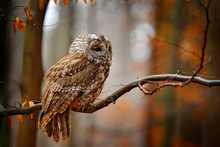 Autum Wildlife In The Forrest. Tawny Owl Hidden In The Fall Wood, Sitting On Tree Trunk In The Dark Forest Habitat. Beautiful Animal In Nature. Bird In The Germany Forest. Orange Leaves With Bird.