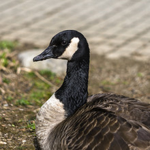 Portrait Of Canadian Goose Wit...