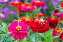 Zinnia Elegans, Known As Youth...