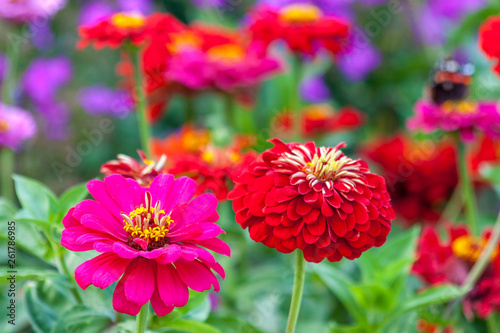 Canvastavla Zinnia elegans, known as youth-and-age, common zinnia or elegant zinnia, an annu