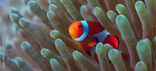 Obraz na plátně clown fish coral reef / macro underwater scene, view of coral fish, underwater d