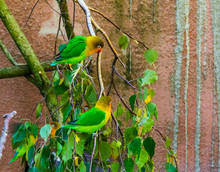 Two Fischer's Lovebirds Sitting On A Tree Branch Together, Tropical And Colorful Small Parrots From Africa, Popular Pets In Aviculture