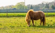 Brown Shetland Pony Grazing In...