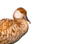 Isolated Duck. White Backgroun...