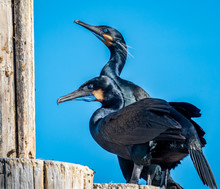 Two Brandt's Cormorants, In Fu...