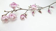 Wunderschöner Magnolienzweig Weiss Isoliert