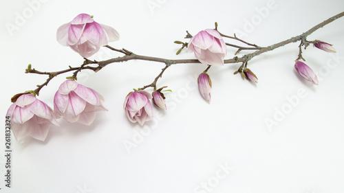 Fotografia  Wunderschöner Magnolienzweig weiss isoliert