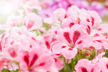 Two-tone Pink Geranium Flowers With Sunlight Spot.