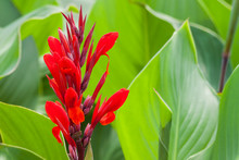 Red Canna Lilly Flower On A Green Background.