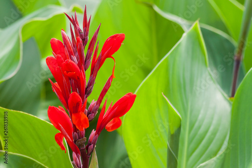Photo  Red canna lilly flower on a green background.