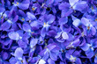 Flower Background - macro image of spring violet flowers