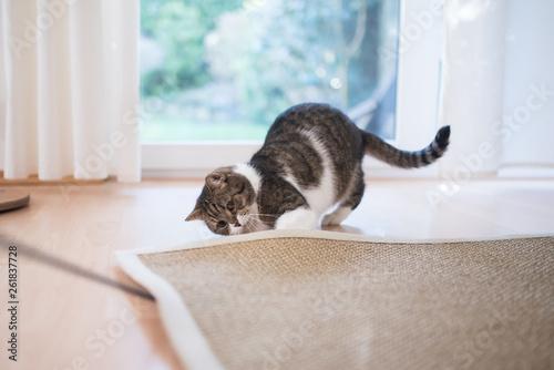 Obraz tabby white british shorthair cat searching for cat's tyo under the sisal carpet - fototapety do salonu