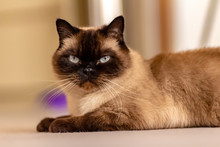 Blue-eyed Siamese Cat Laying O...