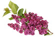 Syringa vulgaris, Spring Lilac flower on white background