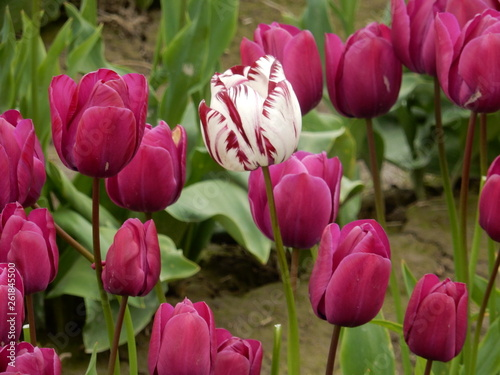 Photo  Purple Tulip
