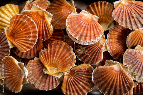 Fotografiet Twenty scallop shells with scallops grouped together