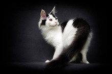 Maine Coon Cat On Gray Background