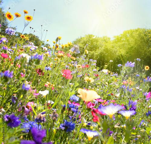 Wall Murals Meadow wildblumenwiese natur sonne