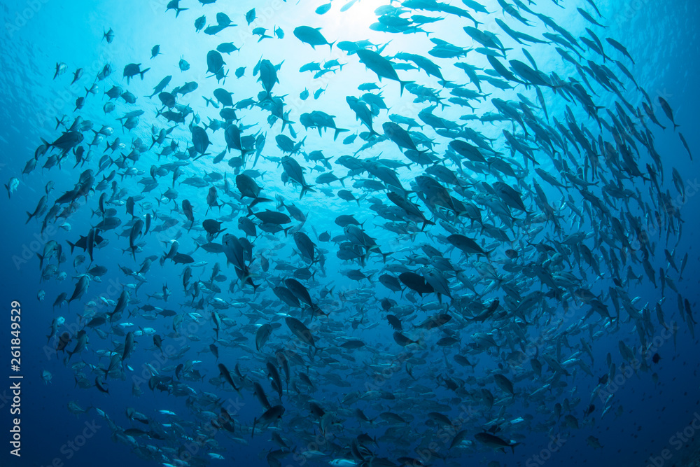 Fototapety, obrazy: A large school of Bigeye jacks, Caranx sexfasciatus, swims in Palau.