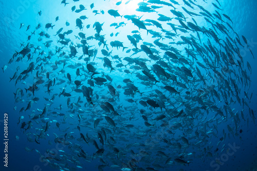 Obraz A large school of Bigeye jacks, Caranx sexfasciatus, swims in Palau. - fototapety do salonu