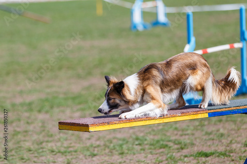 Border Collie on the seesaw obstacle on dog agility sport competition Wallpaper Mural