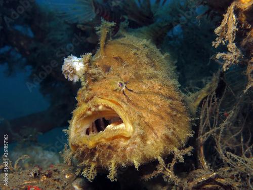 Fotomural Underwater world - Antennarius hispidus - Shaggy angler (frogfish)